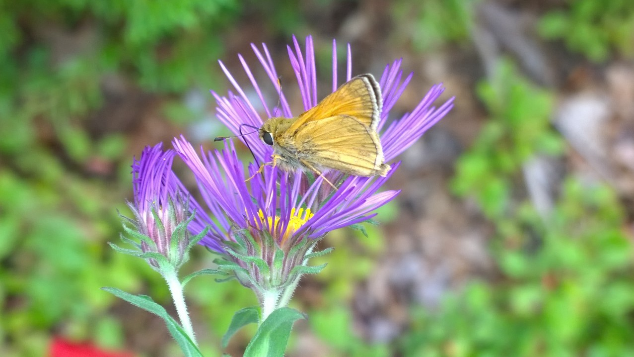 Organic Native Plant, New England Aster, Butterflies!