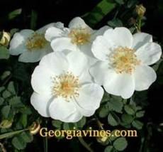 Rosa rugosa White Saltspray 20 seeds - $4.94