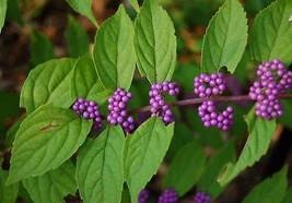 1 Packet of 100 Seeds American Beautyberry, Callicarpa Americana, Beauty Berry,  - $14.57