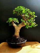 Special Giant Portulacaria afra - very old plant - From the private collection - $182.16
