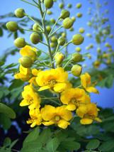 Caesalpinia mexicana YELLOW flowering Dwarf Poinciana Mexican Holdback -10 seeds - $7.99