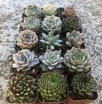 """Assorted Rooted Premium Rosette Succulents in 2"""" Planter Pots with Soil (Pack"""