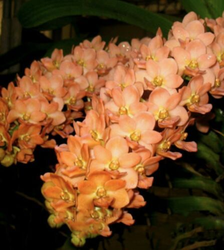 "Three Plant Set Rhynchostylis gigantea RED, WHITE & ORANGE Orchid Plant ""Species"