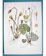 COLT'S FOOT Medicinal Tussilago Farfara - Beautiful COLOR Botanical Print - $26.01