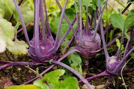 10 Variety Seeds - Early Purple Vienna Kohlrabi German Turnip Seeds #SMS60 - $12.99+