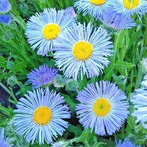 1000+BLUE FLEABANE ASPEN DAISY Seed Drought Tolerant American Native Wil... - $2.50