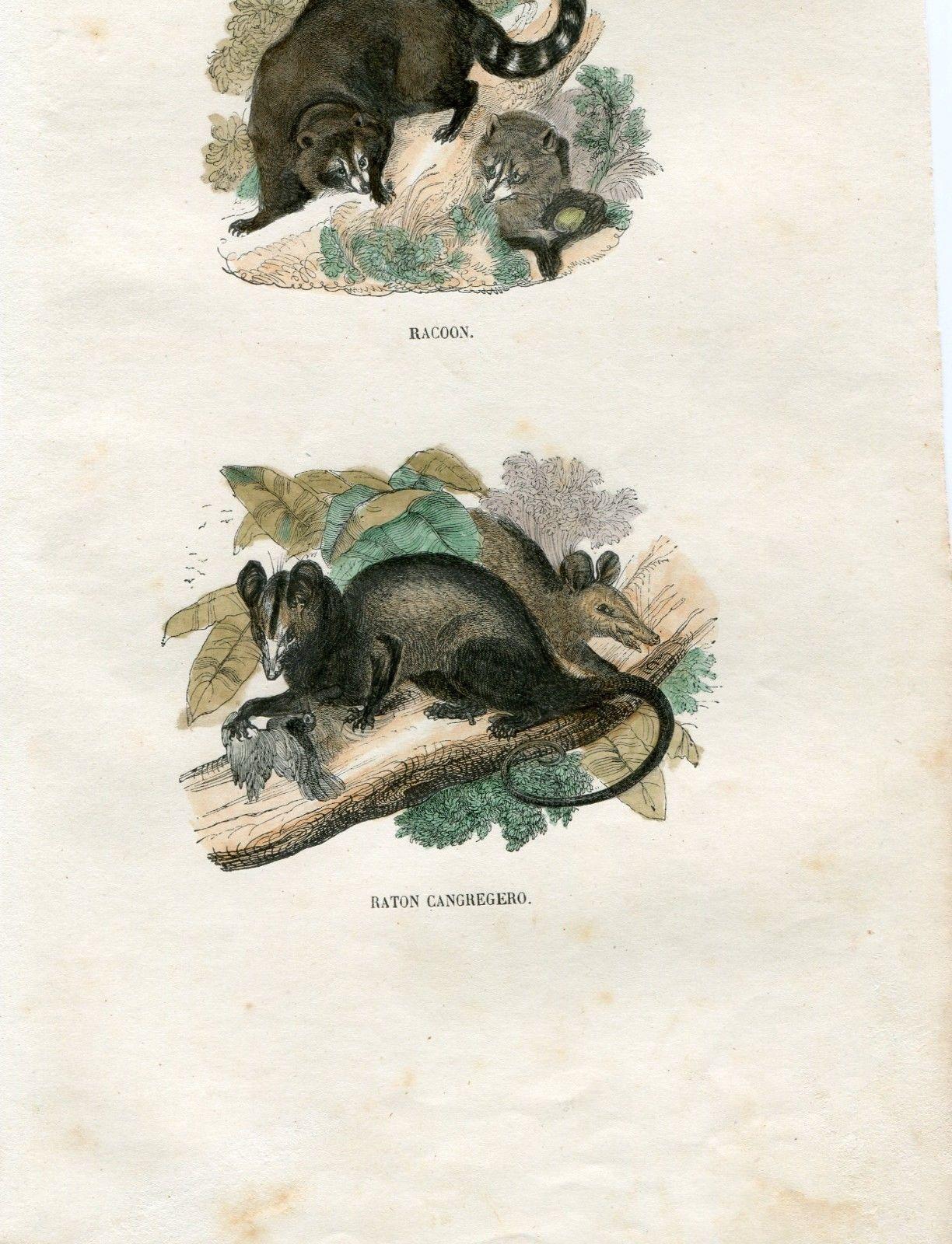 Rare Original Antique 1837 Spanish Hand Colored Print Mammals