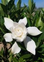 Trade Gallon Pot Frost Proof Gardenia ( cape jasmine ) Live Plant  - $63.99