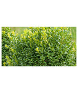 """3 Plants in 2.5"""" Pots - Chicagoland Boxwood - Gardening - Free Ship - $76.00"""