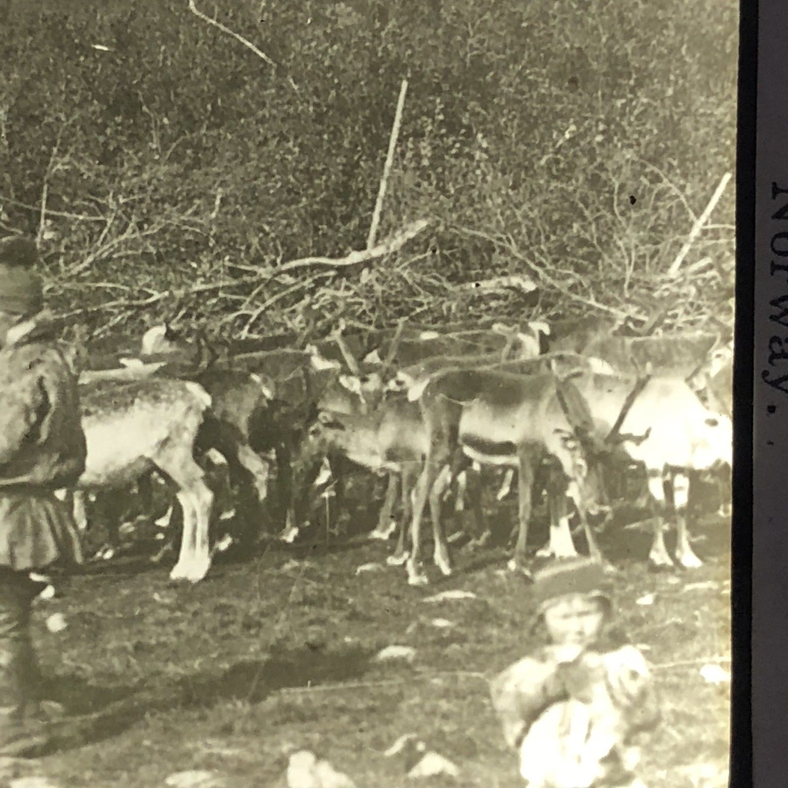 Vtg Keystone Magic Lantern Slide Photo Laplanders Milking Reindeer Norway