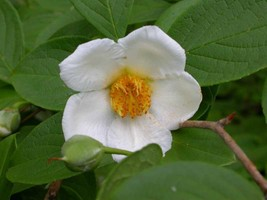 10 Japanese Stewartia pseudocamellia, Tree Seeds (Showy, Fall Color) - $9.99