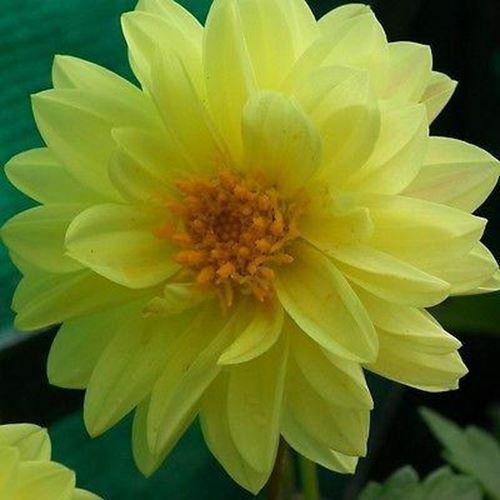 Primary image for SHIP FROM USA Dahlia Opera Yellow Flower Seeds (Dahlia Variabilis) 80+Seeds UDS