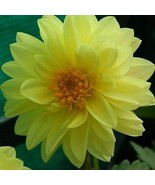 SHIP FROM USA Dahlia Opera Yellow Flower Seeds (Dahlia Variabilis) 80+Se... - $38.21