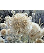 100 Pcs Yellow Flower Rubber Rabbitbrush Seeds #MNSB - $14.99