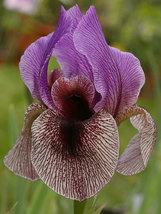"1 rhizome - Bearded Iris Mediterranean ""dardanus""  - $12.80"