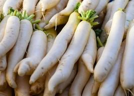 Organic Daikon Kowari Radish Non-GMO Garden Vegetable & Sprouting 625 Seeds - $8.39