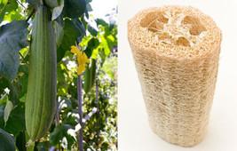 Luffa éponge 10-100 semences Calebasse Loofah Torchon à vaisselle très - $2.96+