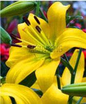 Loss Promotion!50Pcs/bag Double lily bulb flower plants indoor potted flower  - $3.13