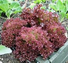 Lettuce Seed, Red Leaf Lettuce, Lolla Rosa, Heirloom, Non GMO 500 Seeds - $22.86