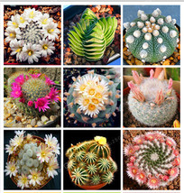 100 Seeds/Pack New Fresh Seeds Rare Cactus Seeds,Rare Meaty Plant Seeds ... - $4.21