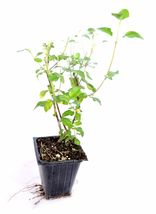 "Non GMO - Live Plant Sage 'Hot Lips' Salvia - 4"" Pot - Easy Care Hardy - $28.00"