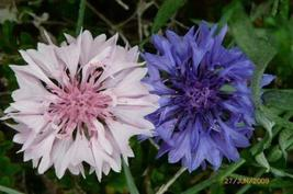 1 Packet of 2000 Seeds Polka Dot Mixed Bachelors Button - Asterales Asteraceae - - $9.77