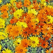 200+AFRICAN DAISY Seeds Yellow Orange Drought Heat Tolerant Garden/Containers - $2.75