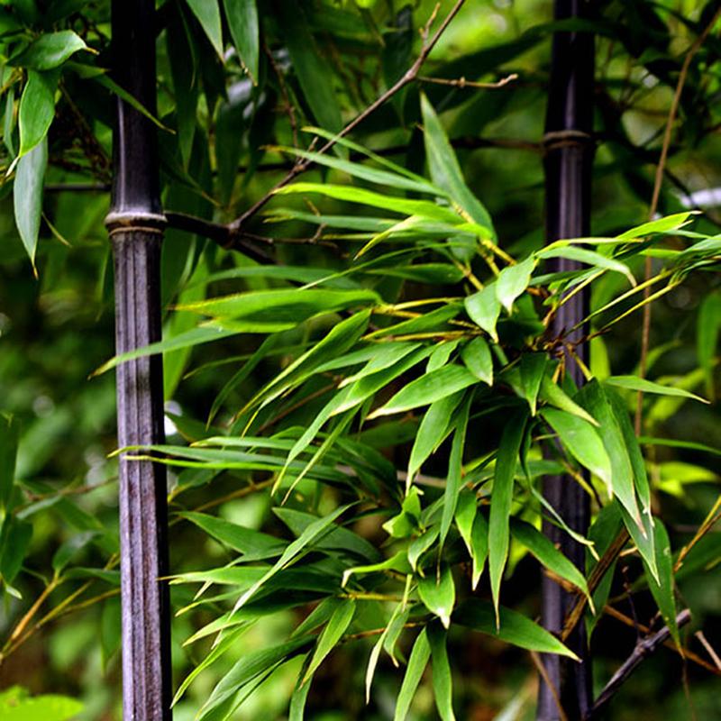 50 Seeds Bamboo Rare Purple Ideal Ornamental DIY Home Garden Plant Very Fresh