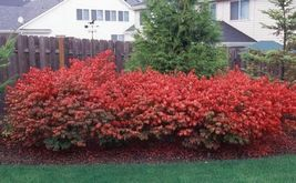 "Dwarf Burning Bush plant 4"" pot Hardy Shrub (Euonymus Alatus) image 4"