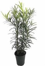 Podocarpus Macrophyllus - 9 Live 4 Inch Pots - Japanese Yew - Low Maintenance Ev - $89.98