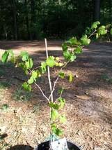 Bronze Pam Muscadine 2 Gal Vine Plants Vines Plant Grapes Vineyard Wine - $43.60