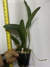 C. Hawaiian Wedding Song 'Virgin' CATTLEYA Orchid Plant Pot BLOOMING SIZE 22k image 2