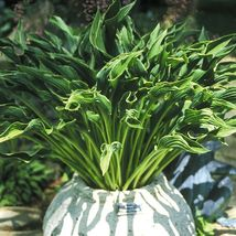 """3"""" pot 1 Live Potted Plant hosta PRAYING HANDS small upright  - $34.99"""