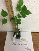 Miss Kim Lilac shrub quart pot image 3