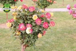 Free Shipping 50 Seeds Rare Orange Rose Seeds fragrant flower seeds - $5.39