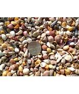 300 COLORFUL MINI Seashell Mix Crafts Shells Vase Filler Scrapbook Fairy... - $8.59