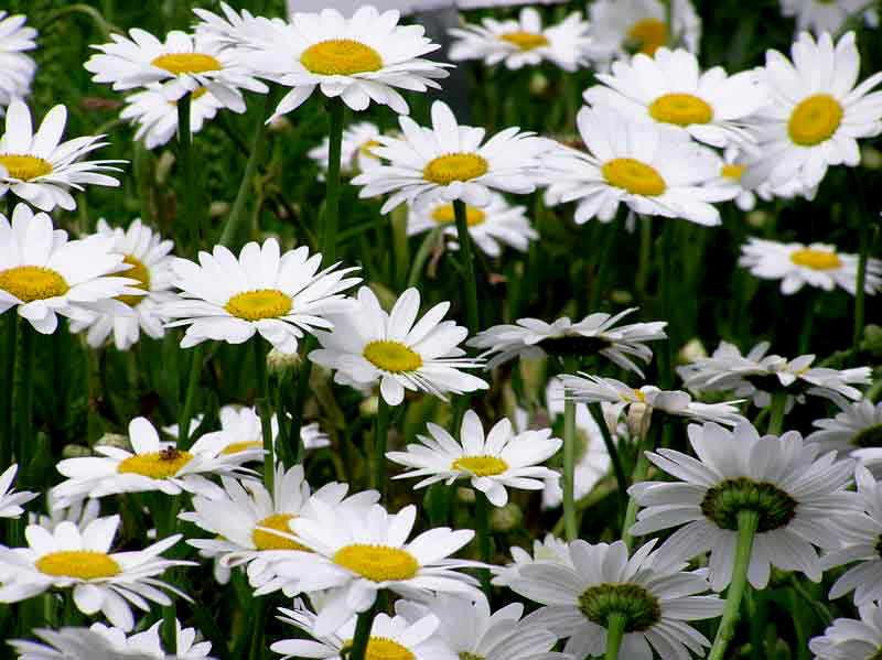 Shasta Daisy Seeds, Heirloom Seeds Perennial Wildflower