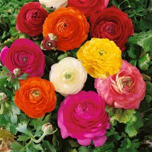 25 Bulbs, Ranunculus Mix French Peony, Shipping (Pack of 25 Bulbs) Zones... - $20.99