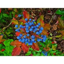 Oregon Grape Holly Fruit Vine Hollyleaved 20 Seeds #SFB11 - $18.17