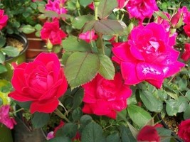 Double Knock Out®  Red Rose 1 Gal Live Plants Flower Plant Disease Resist Roses - $33.90