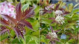 1 Starter Plant Sambucus Nigra 'Serenade' - Beautiful Home Gardening D05 - $31.99
