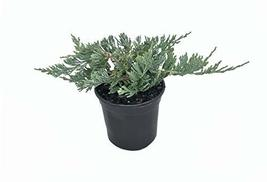 Blue Rug Juniper - 15 Live 4 Inch Plants - Juniperus Horizontalis 'Wilto... - $129.98