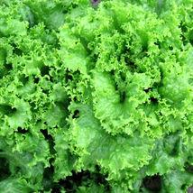 100 Pcs Grand Rapids Lettuce Seeds, Leaf Lettuce Seeds, Heirloom Lettuce... - $13.99