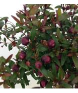Myrtus Biblical Myrtle Herb Plant quart pot - $60.00
