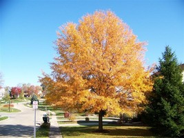 Willow Oak-(quercus phellos) image 1