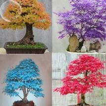 20 Seed Rare Colorful Bonsai Japanese Maple Tree Seeds, DIY Beautiful Tr... - $8.99
