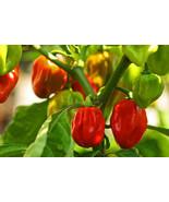 Non-GMO Habanero Red Pepper - 25+ Seeds - $7.99