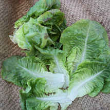 SHIP FROM US ORGANIC SUMMER BIBB LETTUCE SEEDS  ~2 Oz SEEDS - NON-GMO, TM11 - $69.96
