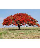 live plant -  Jacaranda Mimosifolia (FLAMBOYAN RED) TREE 4''-8'' (Deloni... - $60.99