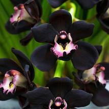 100 PCS Unique Black Cymbidium Faberi Flower Seeds - $4.99